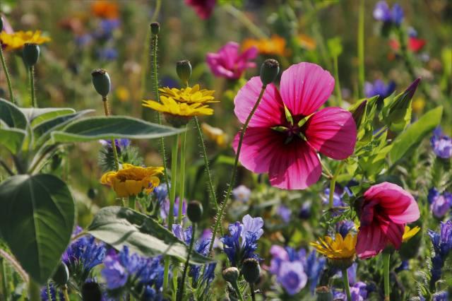 польові квіти, природа, трава