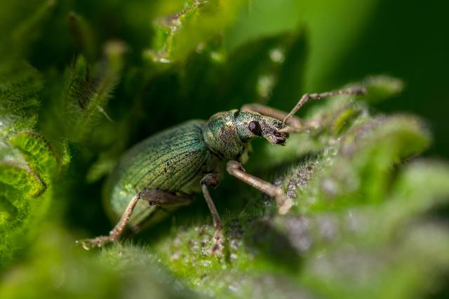 Nettle, weevil, beetle, green, insect