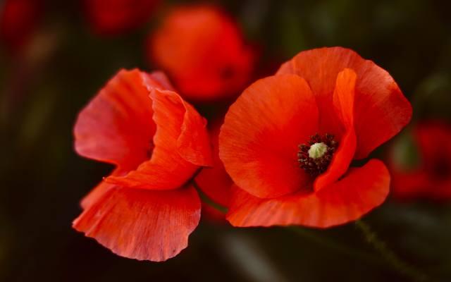 квіти, темний фон, фон, маки, червоні, дует, червоні