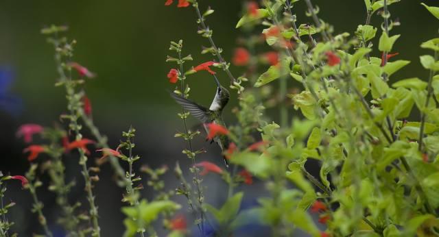 hummingbirds, flower, bird, blur, bokeh, flowers, greens, macro, nature