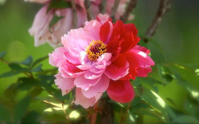 розово-красный, пион, цветок