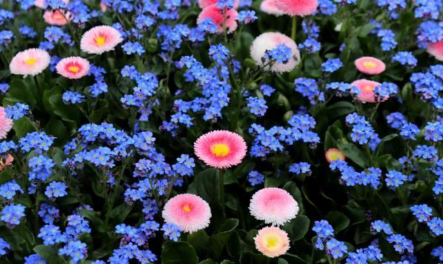 Не забывай меня, маргаритка, природа, цветок, растение, сад