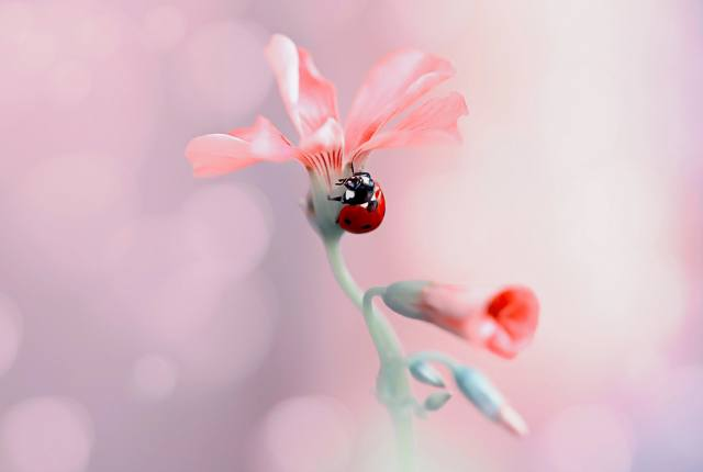 Rina Barbieri, nature, flower, buds, beetle, ladybug, macro, bokeh