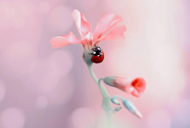 Rina Barbieri, příroda, květina, poupata, brouk, beruška, makro, boke
