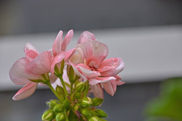 цветы, розовый, лепестки