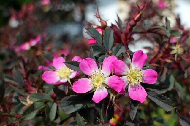 квіти, пелюстки, шипшина, рожеві, кущ, квіти, пелюстки, briar, рожевий