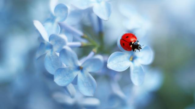 beruška, Ladybug flower, modrá, květina