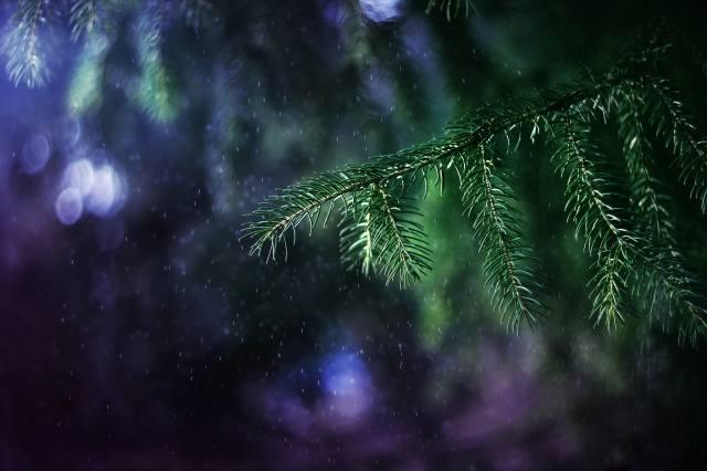 makro, větvička, smrk, vánoční strom, jehličí, déšť, boke