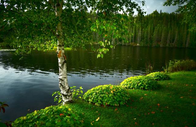 grass, trees, landscape, nature, the lake, tree, birch, Forest
