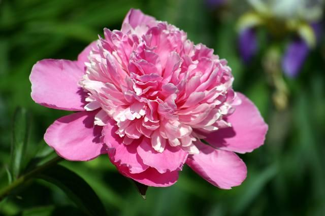 півонія, пелюстки, рожевий
