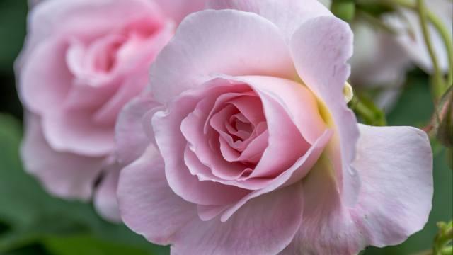 růže, okvětní lístky, květiny