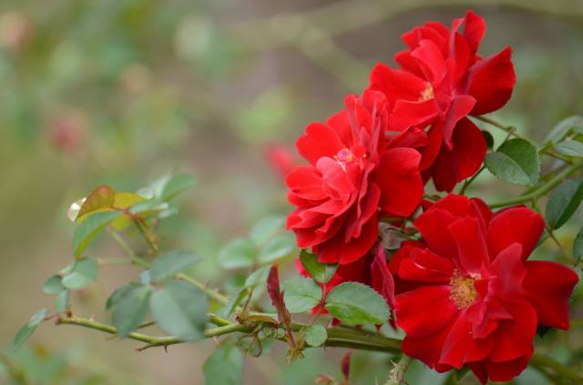 nature, branch, leaves, flowers, rose