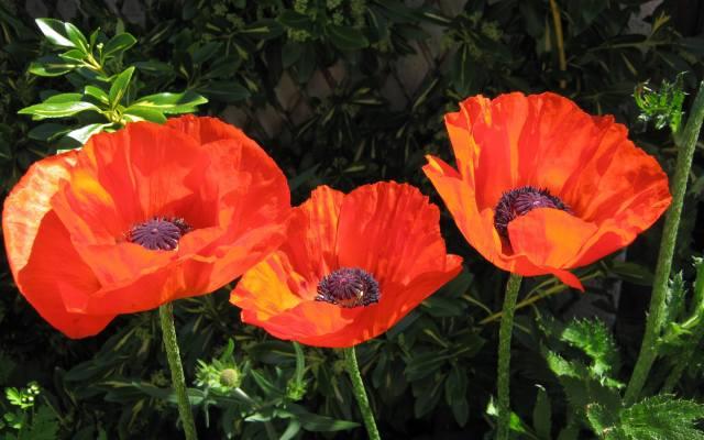 maki, Červená, květiny