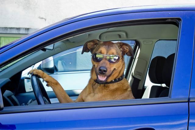 dog, Auto, The wheel, glasses, humor, smile