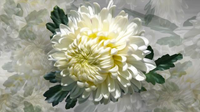 Квяти, chrysanthemum, graphics