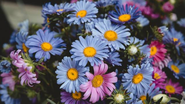 Blue, pink, flowers, chamomile