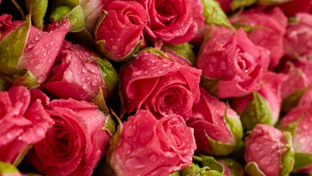red roses, rose, flowers, drops