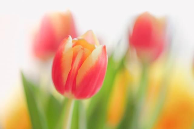 tulips, фотограф Paula W