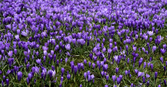 crocuses, a lot, Purple, flowers, spring