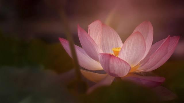 flower, Lotus, macro
