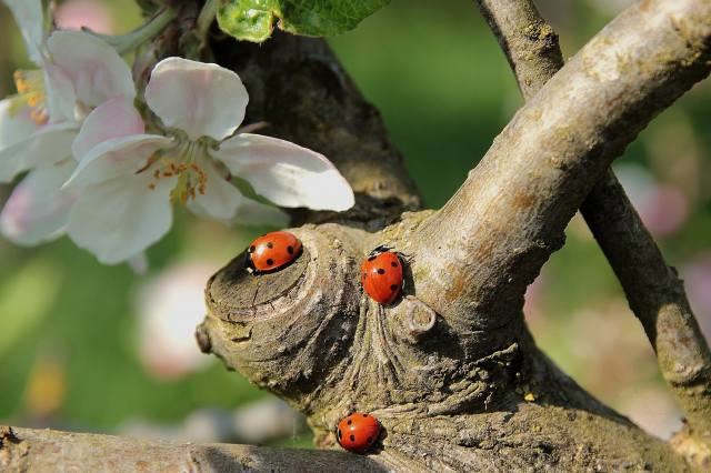 spring, tree, branches, flowering, flowers, ladybugs