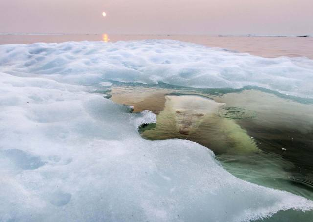 фото, білий ведмідь, ведмідь, хижак, під водою, лід, красиво, супер фото
