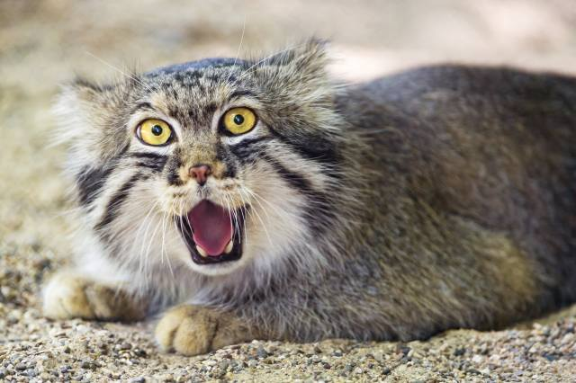 cat, manul, ctambako the jaguar