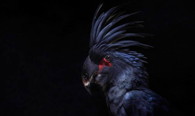 pták, Papoušek, хохолок, peří, kakadu, černé pozadí
