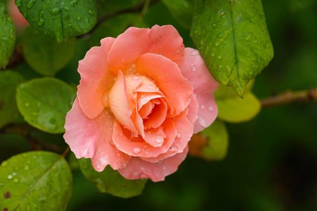 flower, rose, leaves, drops, water