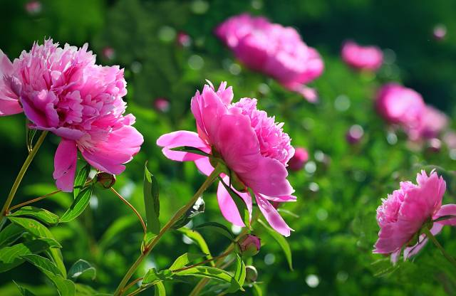 Peonies, summer, day