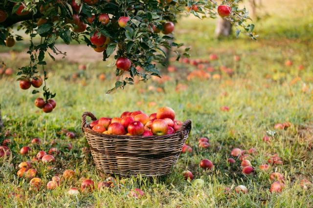 яблоня, яблоки, плоды, урожай