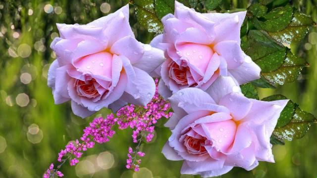 flowers, rose, leaves, drops, water, bokeh