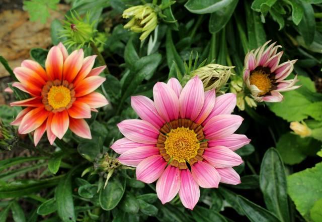 Газания, flowers