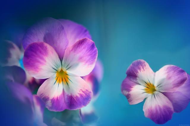 violets, summer, background
