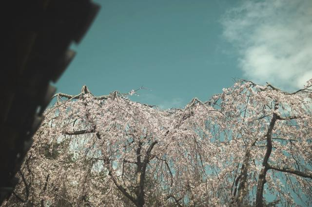 the sky, Sakura, flowering