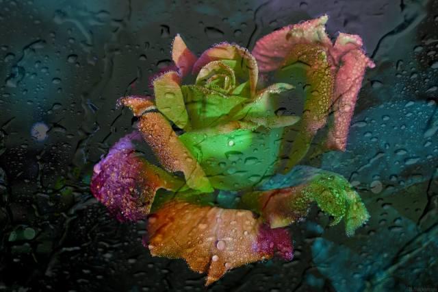 rose, light, glass, drops
