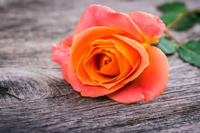розы, цветы, макро
