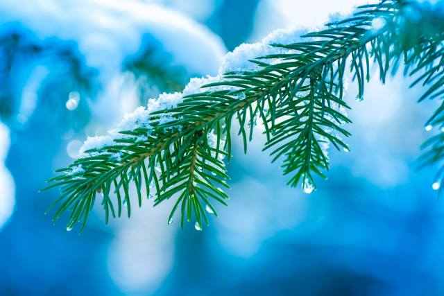 branch, snow, drops, spruce, nature