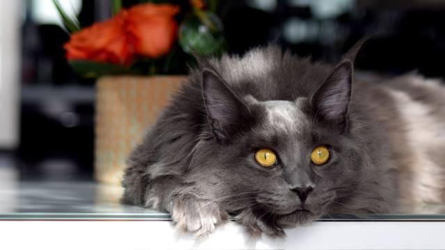 мейн-кун, серый, взгляд