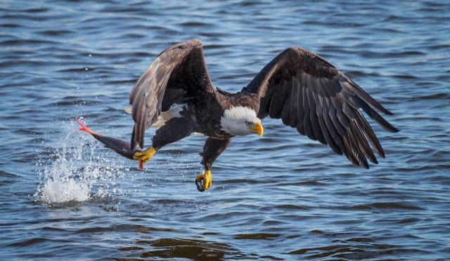 orel, ptáci světa, орлан белоголовый, рыбачок