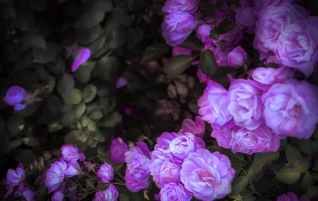 night, rose, August