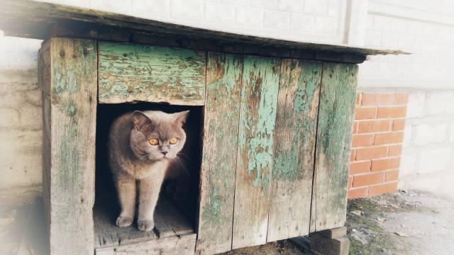 кіт, Британець