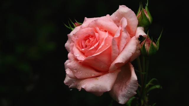rose, pink, drops, flowers