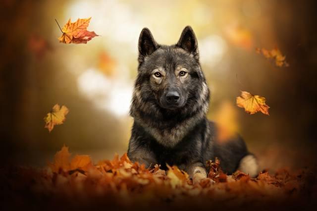 pes, podzim, ovčák, listy