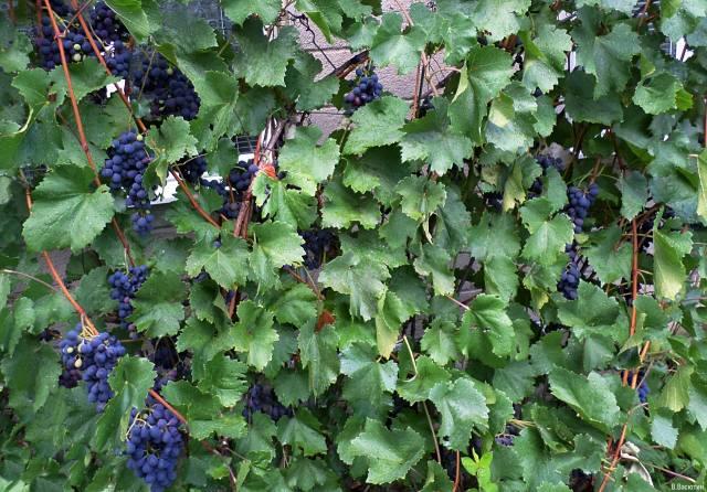 сентябрь, дождик, виноград