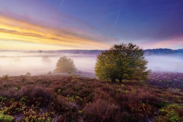 příroda, krajina, pole, stromy, bylinky, vřes, ráno, mlha