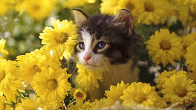 Животное, котенок, детеныш, мордочка, взгляд, цветы, хризантемы