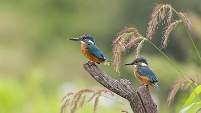 птицы мира, зимородки, птенцы, ПАРА, природа, коряга, трава