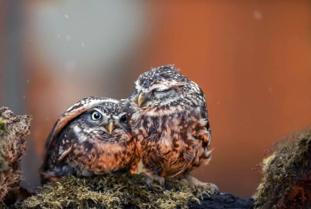 птицы мира, совята, птенцы, ПАРА, природа, камни, мох