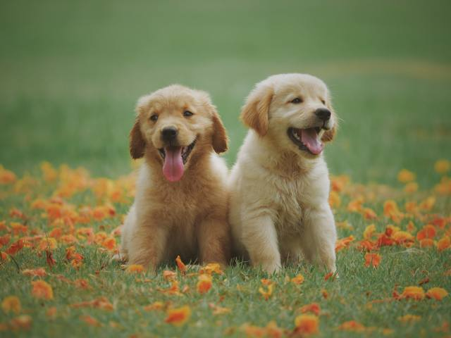 животные, собаки, щенки, щенята, детеныши, ПАРА, природа, трава, листва